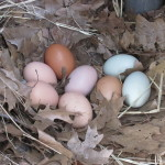 Ameracaunas lay different colored eggs!