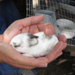 meat rabbits 003