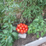 meal worms and tomatoes 011