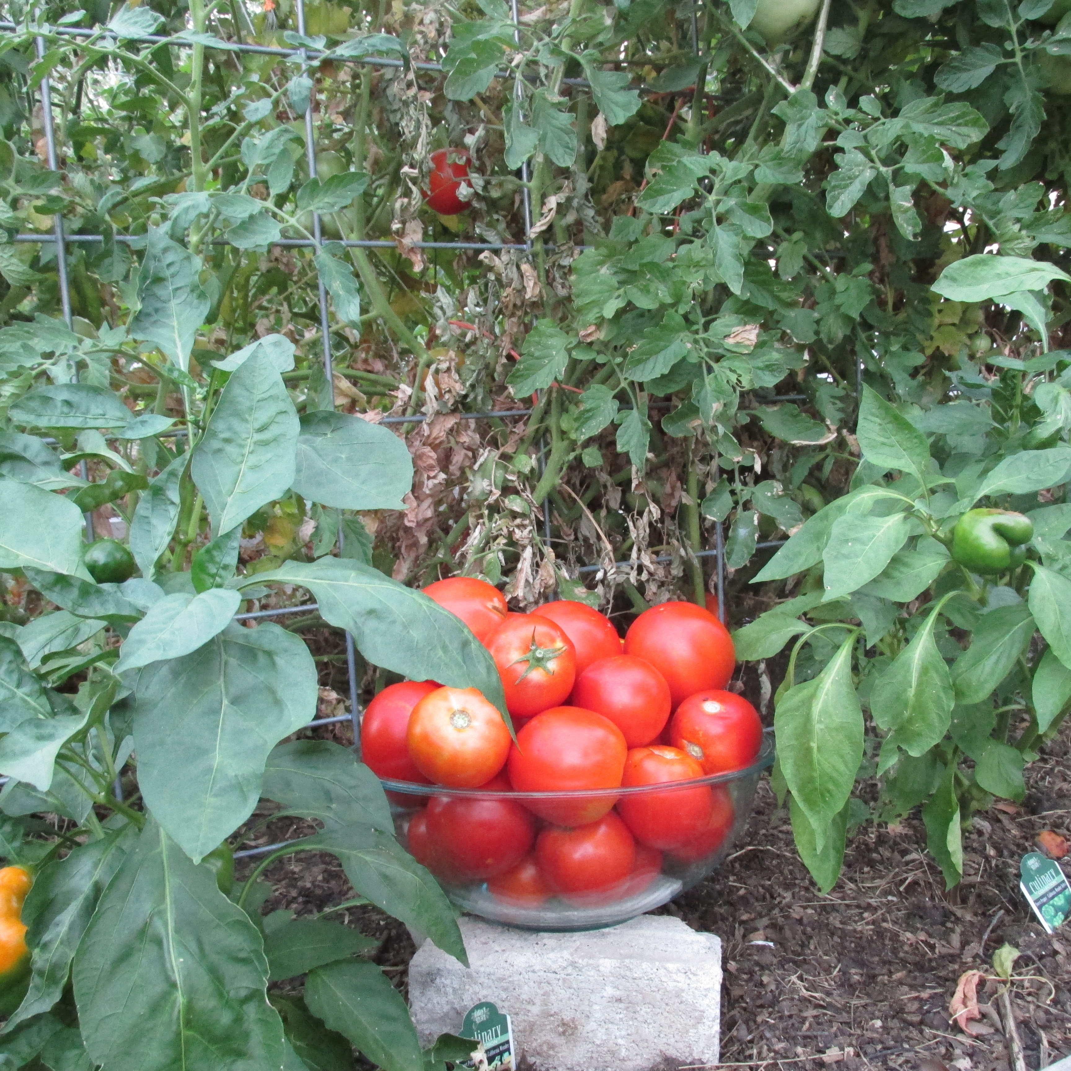 The Jewels of the Garden: Tomatoes