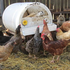 Free breakfast for chickens.