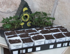 Winter crops planted in pots until there is room for them in the garden.