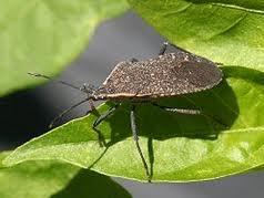 My nemesis: the Squash/Stink bug.