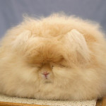 Angora Rabbit all fluffed up and ready for show!