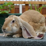 English Lop at show