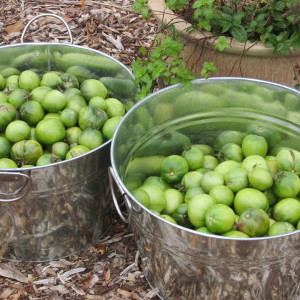 Green tomatoes gathered before the first freeze.
