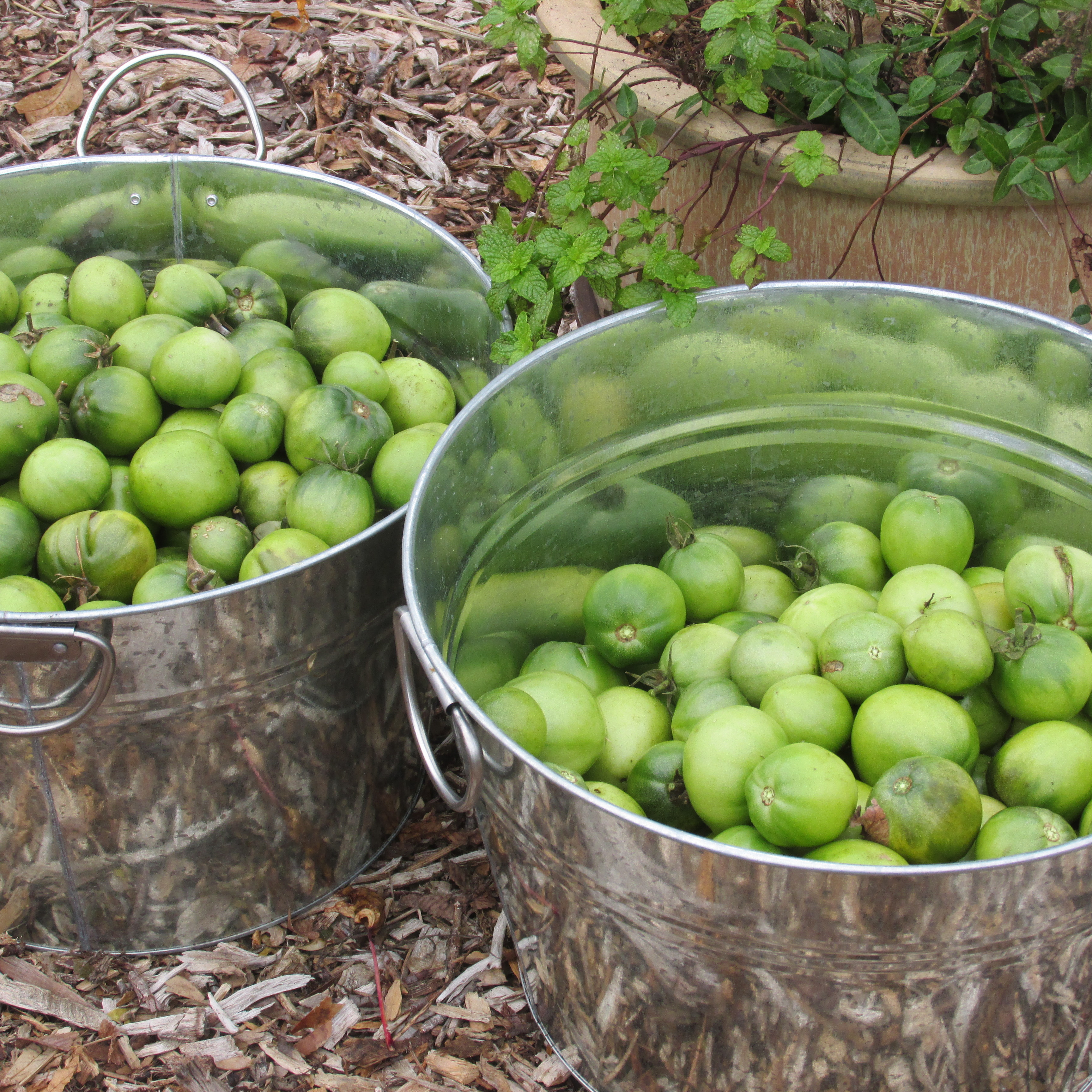 Green Tomatoes; Garden to Table Recipe