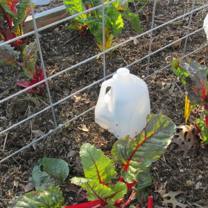 tomato spring 2016 protecting from frost; milk cartons 002