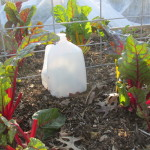 Tomatoes covered with milk jugs for last frost of the season.