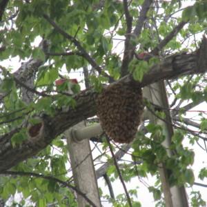 bee swarm capture and artichoke and rain barrel 019