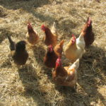 Backyard Chickens; Not Flying Under the Radar Any Longer.