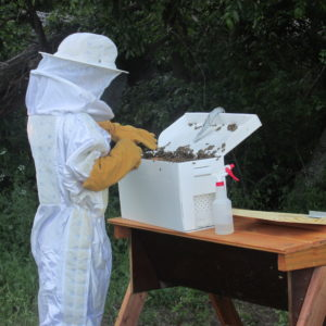 Taking frames out of the Nuc to put in our hive.
