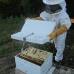 Shaking bees out of hive. Still hate the word shake and bees together!
