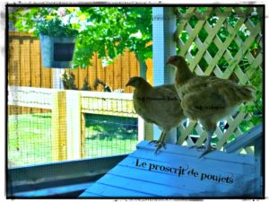 Kristi's Chickens 5