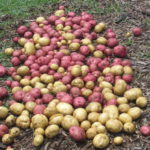 Potatoes in Community Garden pathway all rinsed off and drying.