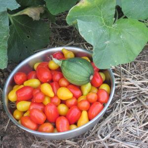 cherry tomatoes summer 2016 002