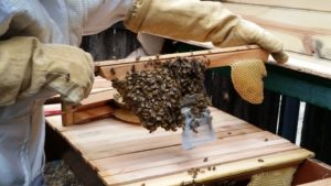Queen cage covered in bees. You be the judge, release or not to release?