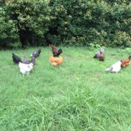 Pasture Raising Chickens Urban Style